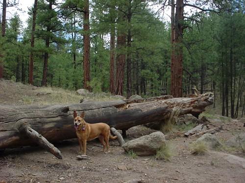 Cricket on Flagstaffs Schultz Creek Trail